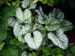 Brunnera poss jack frost