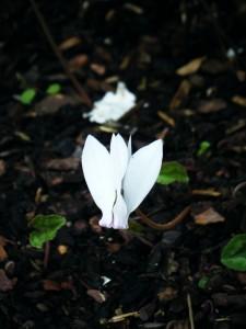 cyclamen album flower