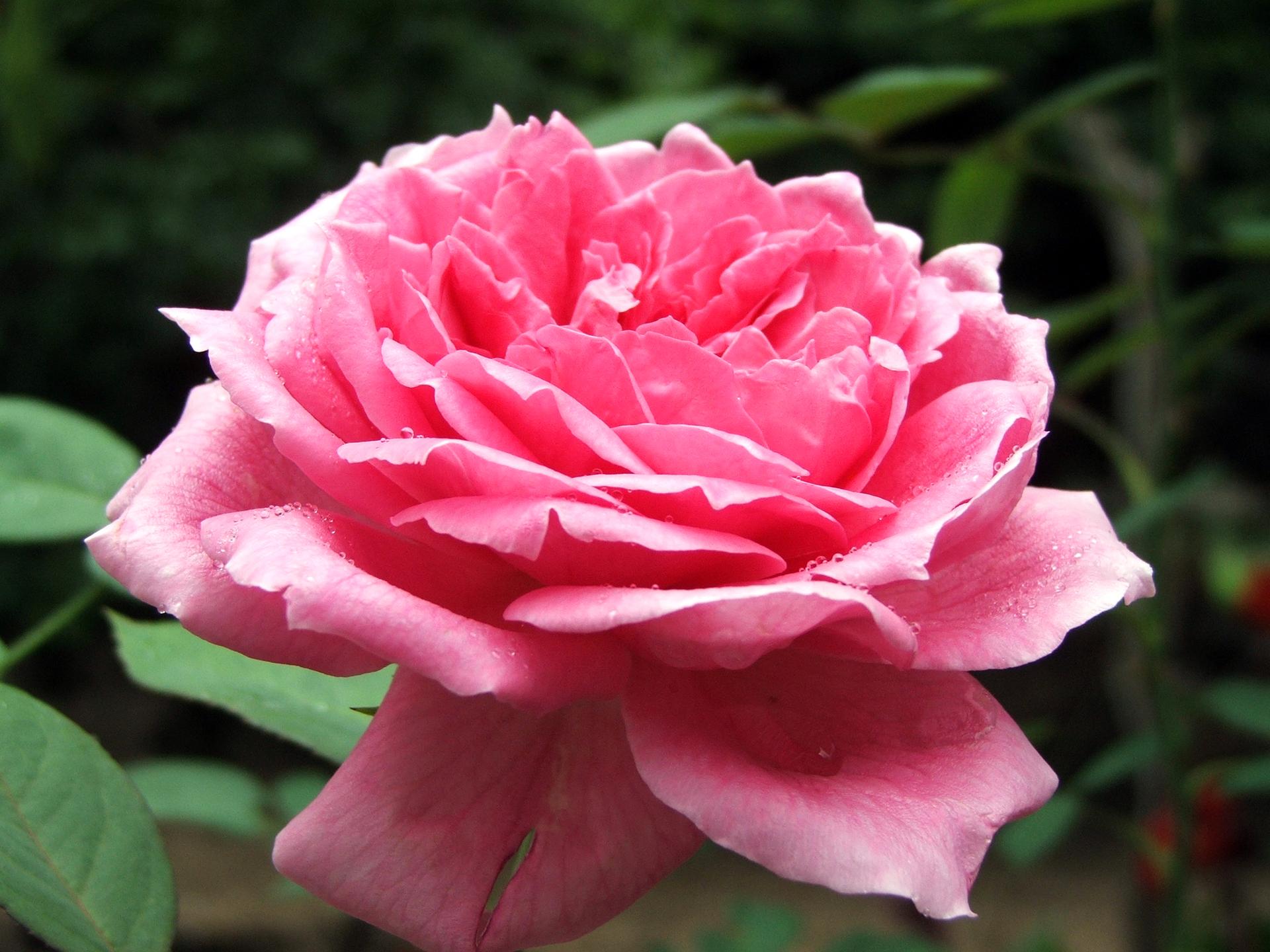 rose-1406036-1920x1440