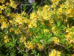 Rhododendron Luteum flowers