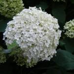 hydrangea annabelle flower (1)